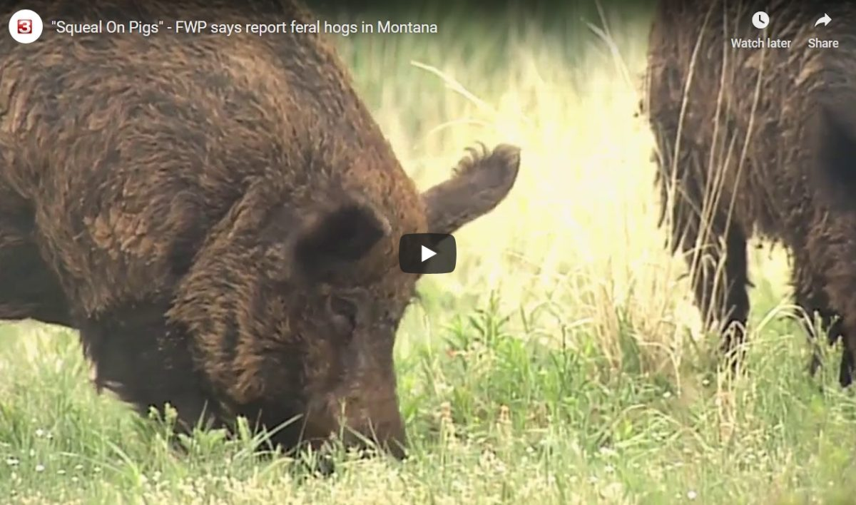 Poll: Do Support or Oppose Eradication Hunting For Invasive Feral Hogs Moving Into Montana? [Video]